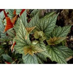 """Begonia argenteo guttata """"Ala de Angel"""""""