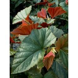 Begonia aconitifolia sceptrum