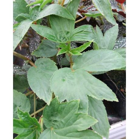 Begonia luxurians var.'Ziesenhenne'