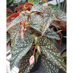 Begonia tiki-carmen