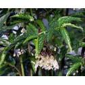 Begonia albo-picta