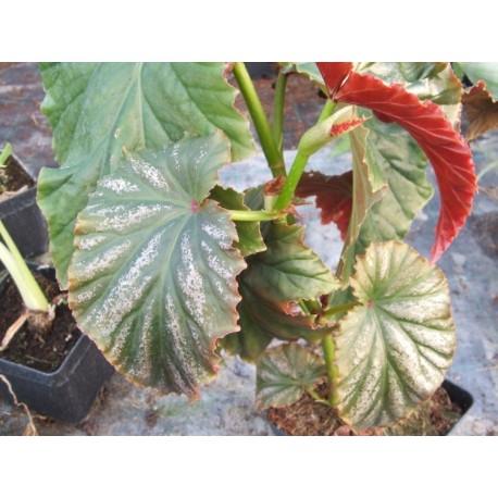 Begonia Irene nuss