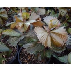 Acalypha wilkesiana moorea