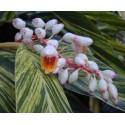 Alpinia zerumbet variegata