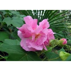 Hibiscus mutabilis 'Flore Pleno'