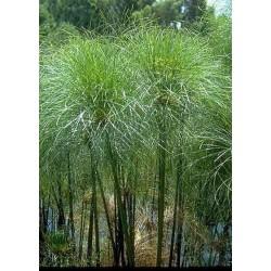 Cyperus payrus