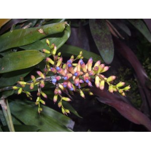 Aechmea organensis  ( Aechmea gracilis)