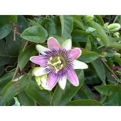 Passiflora caeruleum star ningt