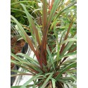 Saccharum officinarum rubrum (Caña de azucar)