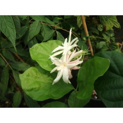 "Jasminum sambac ""Bella de India"""