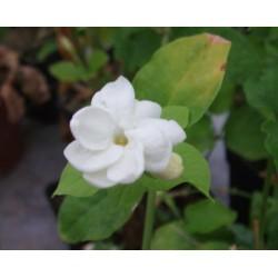 "Jasminum sambac ""Diamela"""