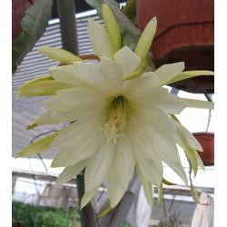 Epiphyllum myrah