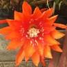Epiphyllum sunflare
