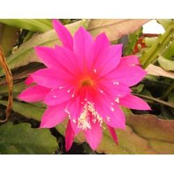 Epiphyllum martian bells