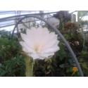 Epiphyllum lola leah