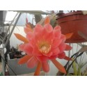 Epiphyllum libra