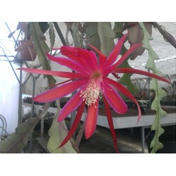 Epiphyllum my little friend