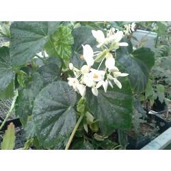 "Begonia odorata ""Alba"""