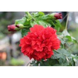 Hibiscus rosa-sinensis triplets