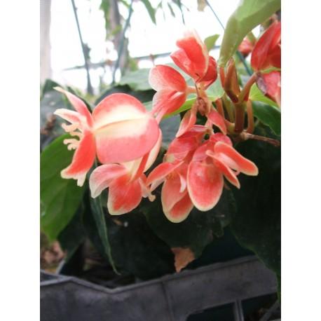 Begonia limmingheiana