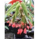 """Begonia albo-picta """"rosea"""""""