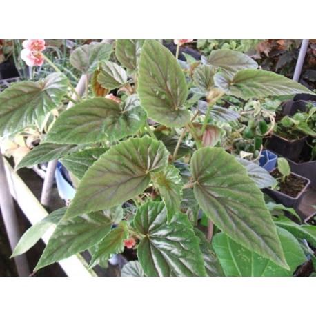 Begonia alleryi