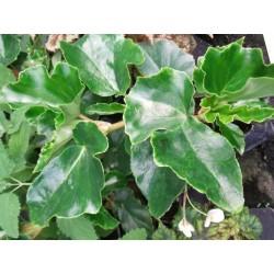 Begonia eunice grey