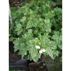 Begonia shepherdii
