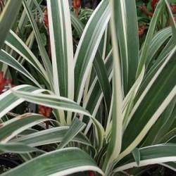 Dianella tasmanica variegata