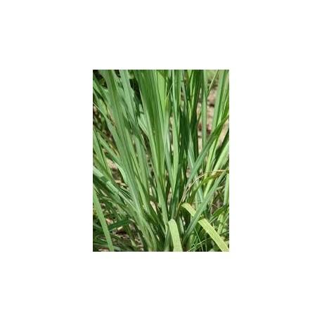 Cymbopogon citratus (Hierba limon)