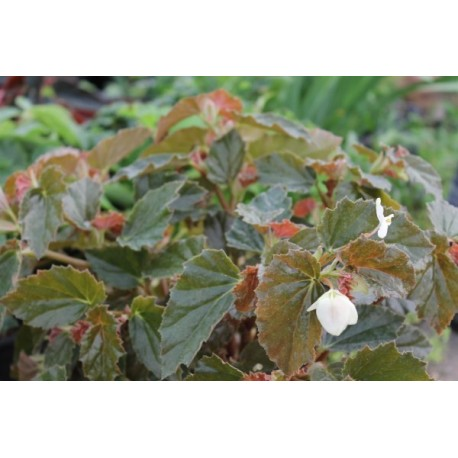 Begonia richmondensis white