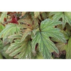 Begonia platanifolia