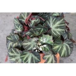 Begonia soli-mutata