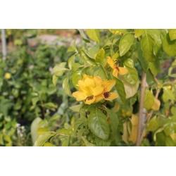 Ruttya fruticosa yellow