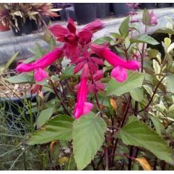 Salvia wendy's wish