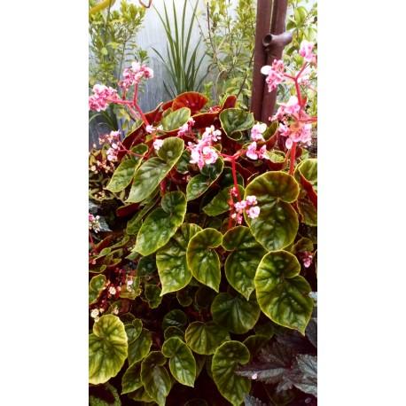 Begonia thurstonii