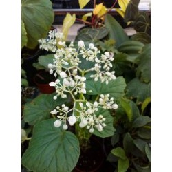 Begonia reniformis