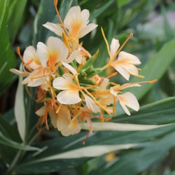 Hedychium doctor moy