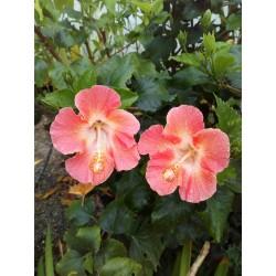 """Hibiscus sinensis sp. """"Pastel"""""""