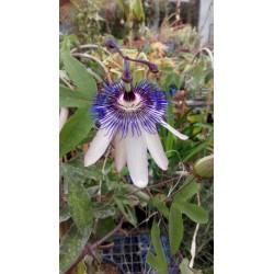 Passiflora stars of cleveland