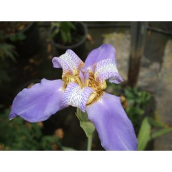 Neomarica caeruleum