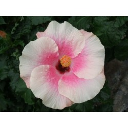 Hibiscus bellatrix