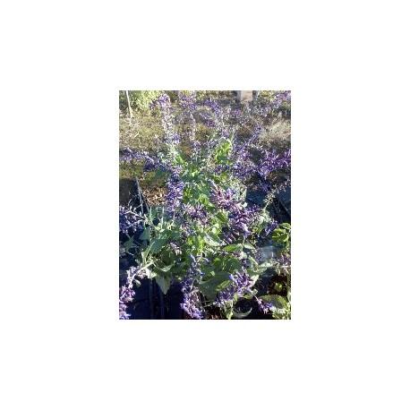 "Salvia ""phyllis fancy"""