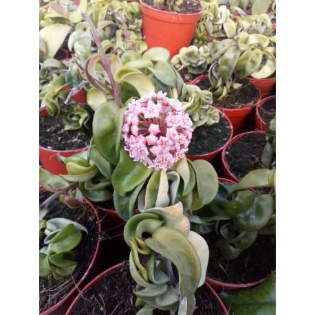 Hoya carnosa compacta