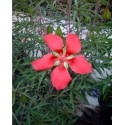 Hibiscus coccineus