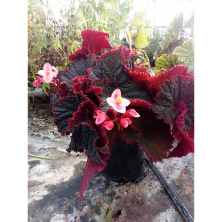 Begonia midnight magic