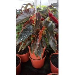 Begonia pinafore