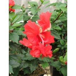 "Hibiscus rosa sinensis "" Pagoda"""