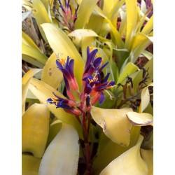 Billbergia sp. (amarilla)