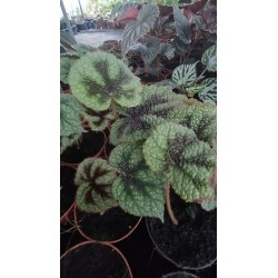 "Begonia masoniana "" iron cross"""